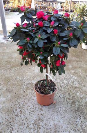 azalea copa roja plantas