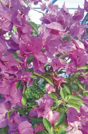 planta de bouganvilla o buganvillea