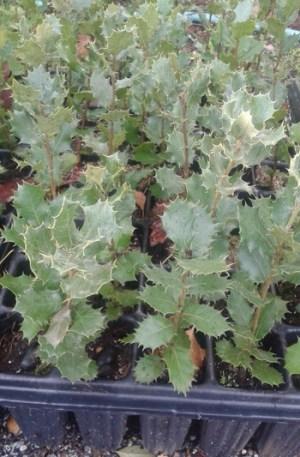 planta de encina, quercus ilex