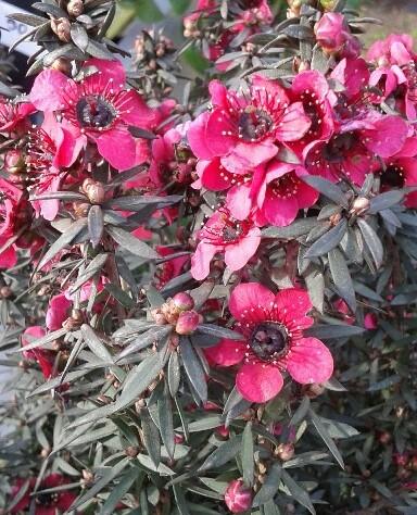 leptospermum de flor roja