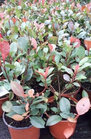 photinia nana