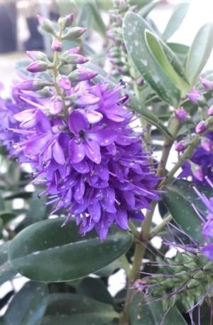 veronica flor azul o hebe especiosa