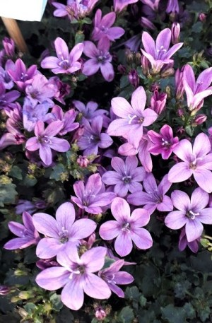 planta campanula ambella pink