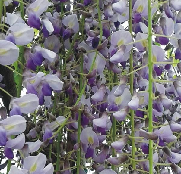 wisteria azul glicinia