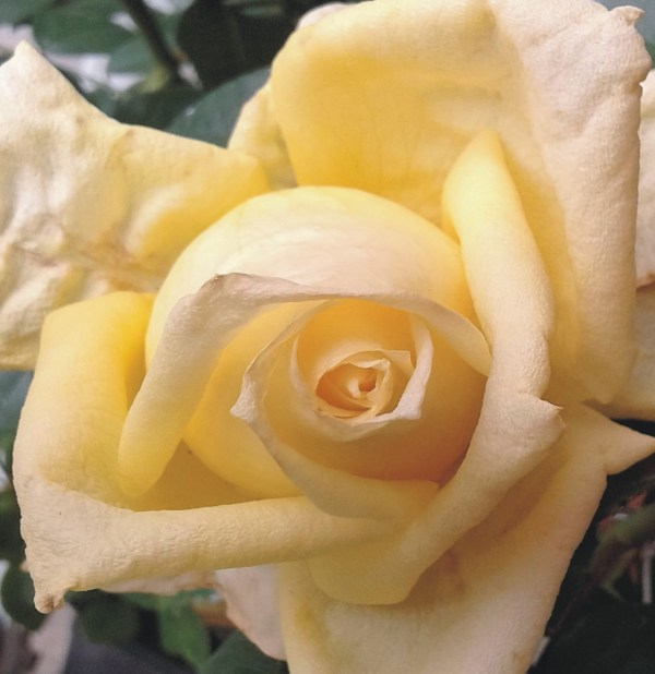 rosal amarillo
