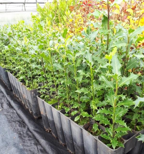 acebos ilex aquifolium