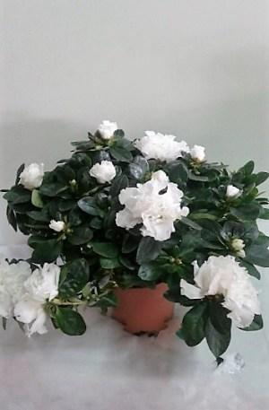 azalea blanca