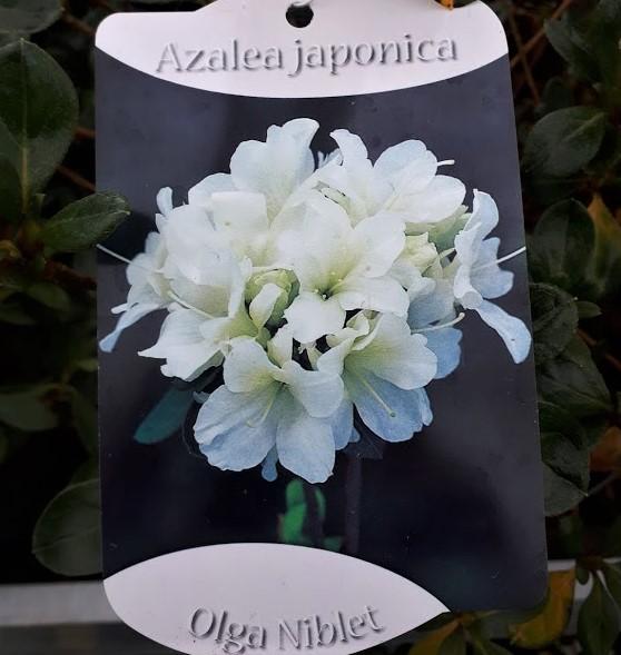 azalea japonica blanca