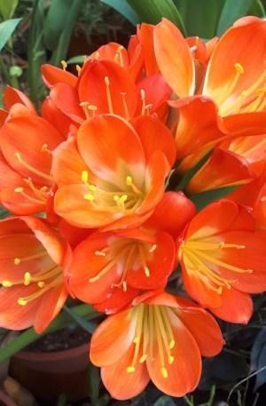 clivia naranja planta