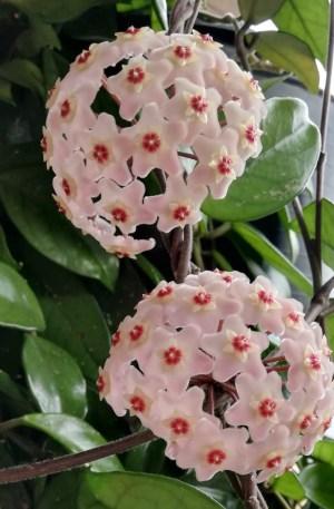 hoya carnosa flor de cera