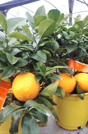 limonero enano meyeri