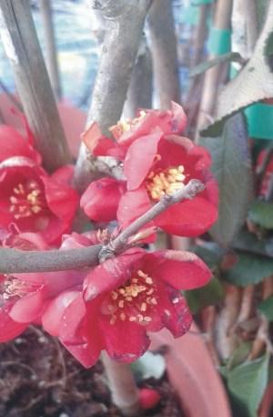 chaenomeles rojo membrillo japonés