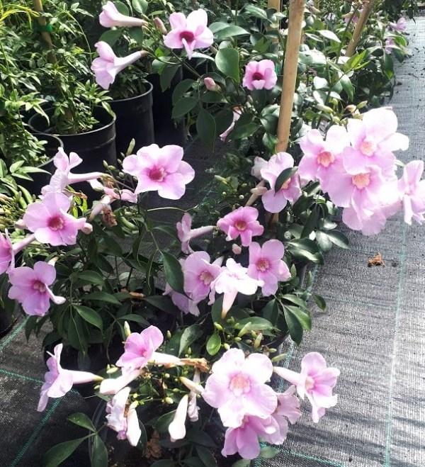 pandorea rosa trepadora planta