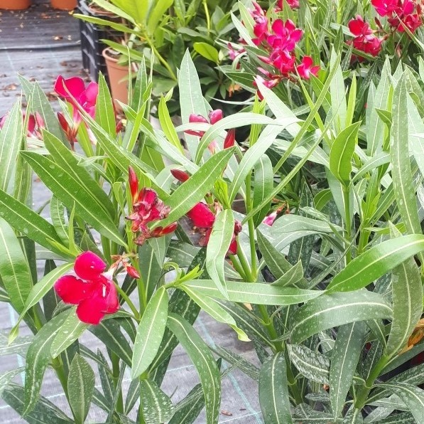 planta de adelfa roja o nerium oleander..