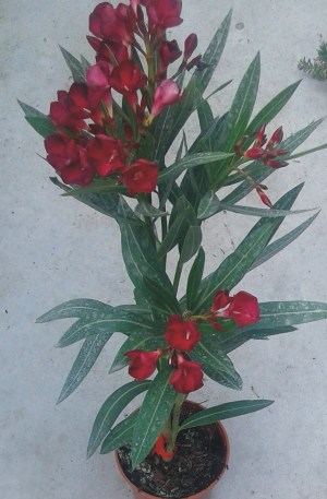planta de adelfa roja o nerium oleander