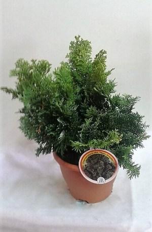 chamaecyparis nana gracilis