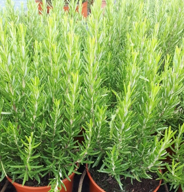 planta de romero o rosmarinus officinalis