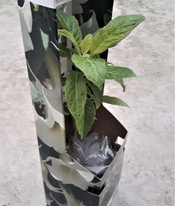 brugmansia arborea árbol de las trompetas blanca datura