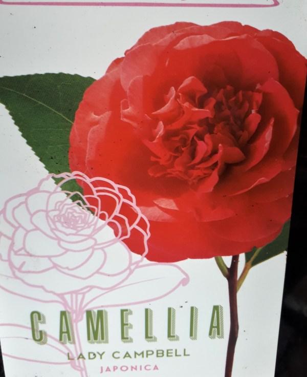 camelia roja doble lady campbell