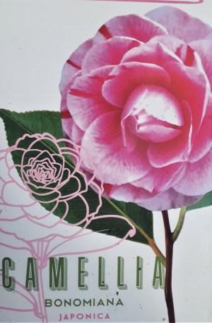 camellia bonomiana japonica camelia rosa jaspeada