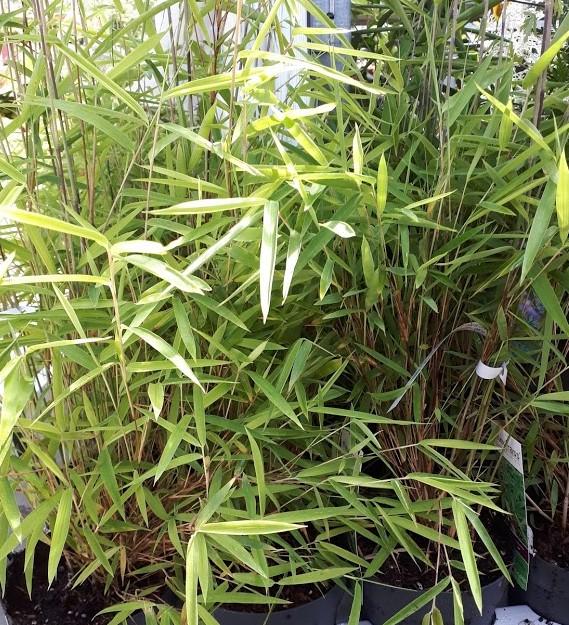 fargesia wonder bambú no invasibo