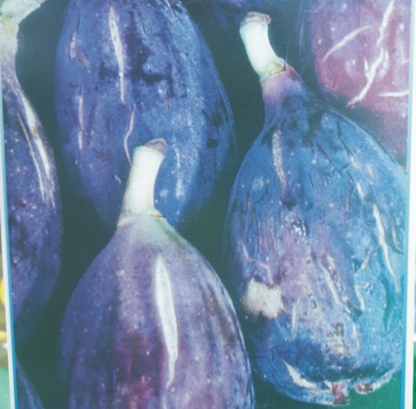 higuera negra arbol frutal