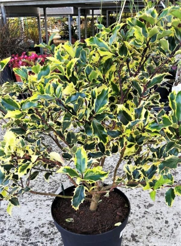 acebo variegata