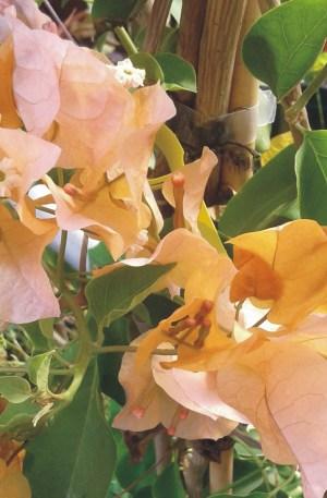 bouganvillea amarilla