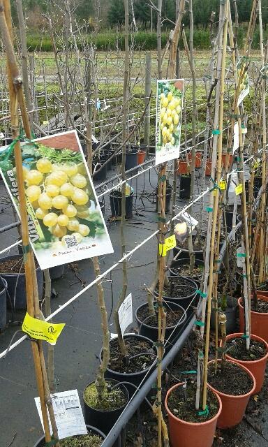 planta de parra de uva de mesa moscatel blanca