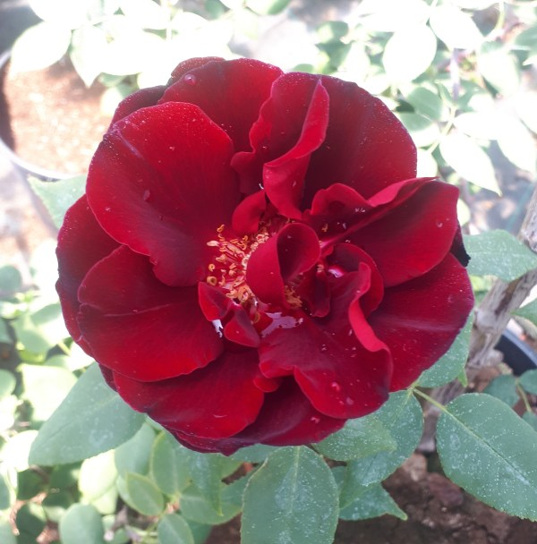 perla negra, rosal