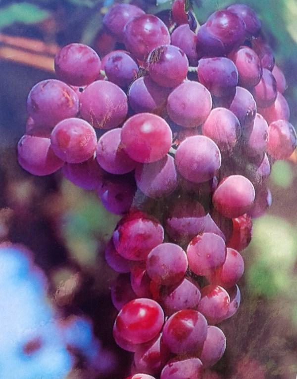 uva negra de mesa red globe
