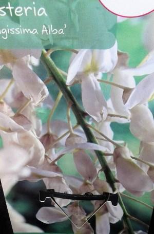 wisteria alba glicinia blanca
