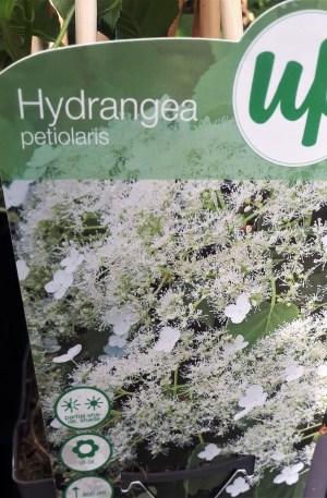 hortensia trepadora blanca hydrangea petiolaris