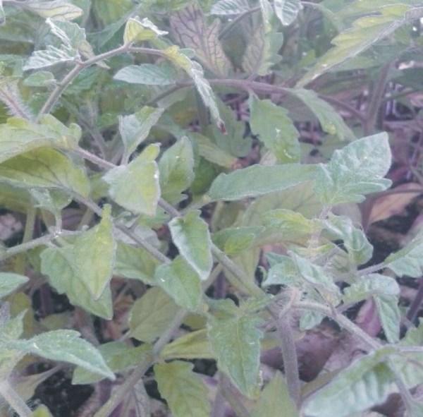tomate pais planta de huerta