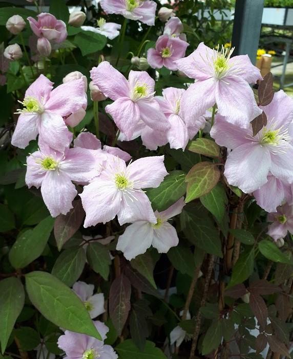 clematis montana mayleen rosa