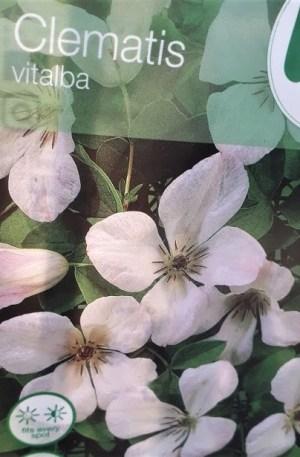 clematis vitalba planta trepadora