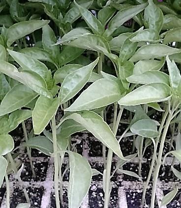 planta de pimiento padrón