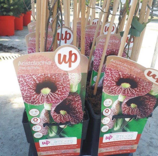 planta trepadora aristolochia macrophila