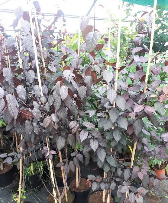 prunus pisardii para jardín