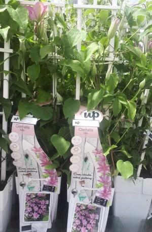 clematis sally planta trepadora flor rosa