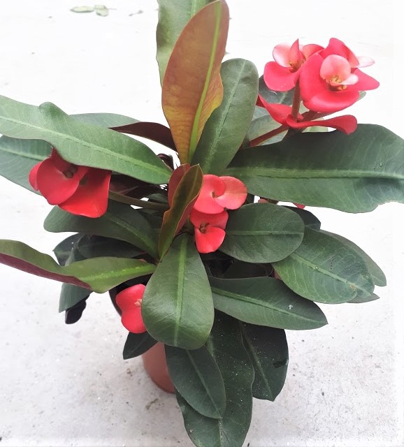 euphorbia milii espina de cristo roja