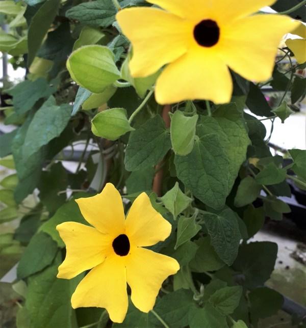 planta trepadora thunbergia ojitos negros de poeta flor amarilla