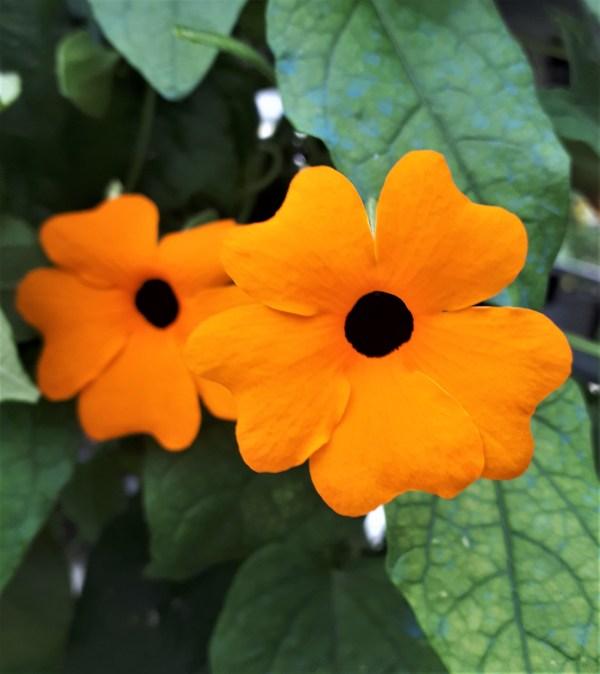 thunbergia naranja planta trepadora ojos de poeta