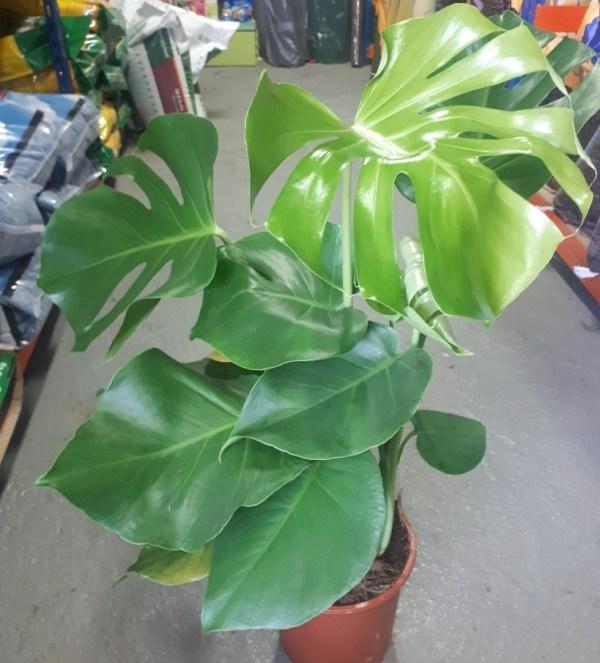 costilla de adan planta interior