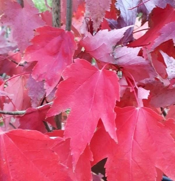 acer rubrum o arce rojo árbol..