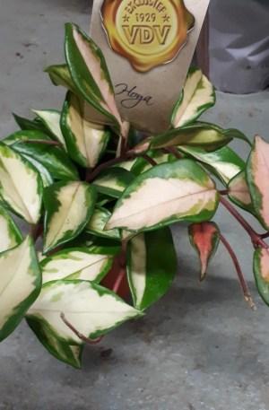 hoya carnosa tricolor flor de cera