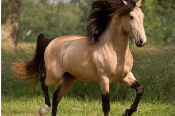 caballo de paso fino
