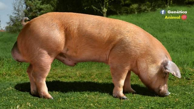 cerdo para engordar rapido