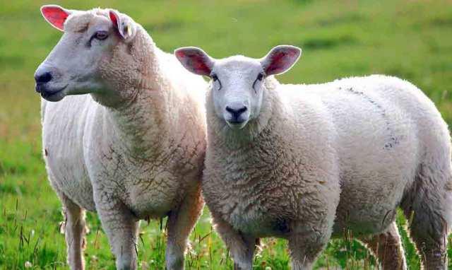 Datos curiosos sobre las ovejas