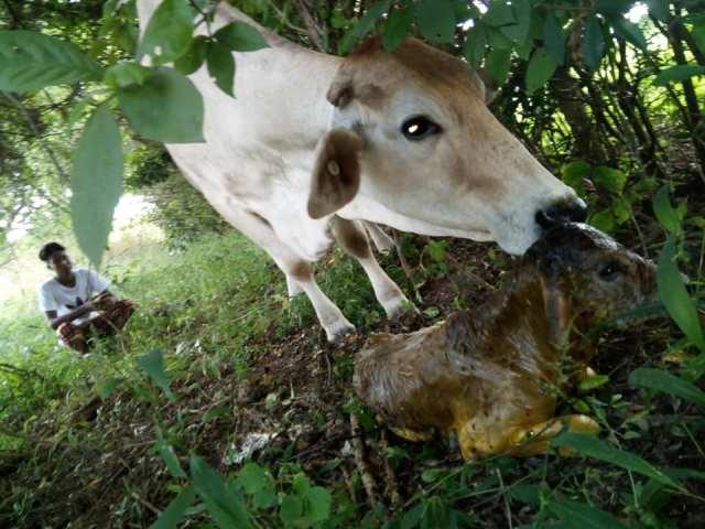 vaca con problemas de parto